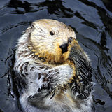 Sea otter rubbing face Stock Image