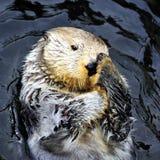 Sea otter rubbing face Stock Image