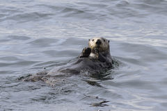 Sea otter that sails along the coast on the back of an autumn Royalty Free Stock Image