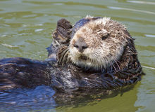 Sea otter salute. Sea otter floating on a warm sunny day Royalty Free Stock Photo