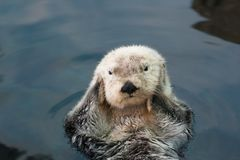 Sea otter. Floats on the back, close-up royalty free stock photos