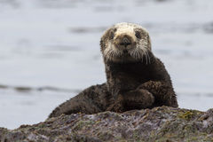 Sea otter sitting on a rock on the shore of the Royalty Free Stock Images