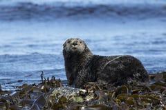 Sea otter sitting on rocks shoreline summer Stock Photos