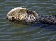 Sea otter sleep. Sea otter floating on a warm sunny day Royalty Free Stock Photography