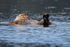 Sea Otter Sleeping in Kelp Bed Stock Photo