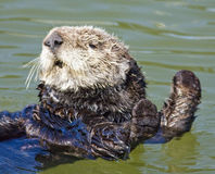 Sea otter stretch. Sea otter floating on a warm sunny day Royalty Free Stock Photo