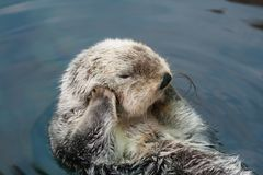 Sea otter. Swims on the back stock image