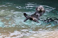 A Sea Otter Swims Playfully. A sea otter playfully swims on its back Royalty Free Stock Images