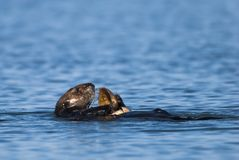 Sea Otter using tools to feed royalty free stock photography