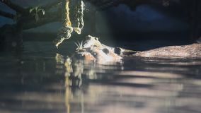 Sea otter in the water. In captivity stock video