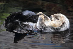 Sea otter. On water surface stock photography