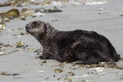 Sea otter who stands on the sandy shore of the Pacific Stock Image