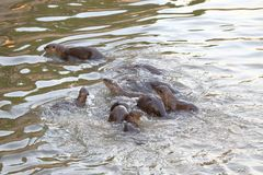 Sea Otters. A big group of sea otters catching fish Stock Photo