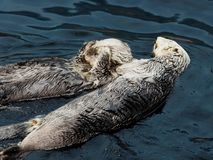 Sea Otters Or Enhydra Lutris. Swimming in pool at the   Oceanarium in Lisbon Portugal Stock Image