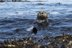 Sea otters floating among seaweed near the shore on sunny day Royalty Free Stock Photo