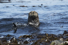 Sea otters floating among the seaweed sunny Royalty Free Stock Photos