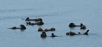 Sea otters floating together Royalty Free Stock Photography