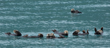 Sea otters floating together Stock Photo
