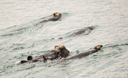 Sea otters Stock Photography