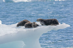 Sea Otters on an Ice Berg. In Prince William Sound by the Columbia Glacier in Alaska Royalty Free Stock Photo