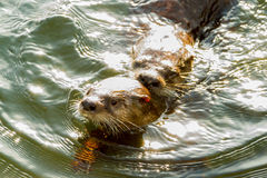 Sea otters mating. Two wild sea otters mating along rocky coastline Stock Image
