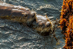 Sea otters mating. Two wild sea otters mating along rocky coastline Stock Images