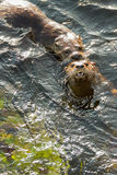 Sea otters mating Stock Image