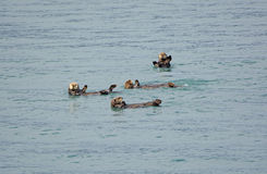 Sea Otters Playing in the Ocean Royalty Free Stock Photography