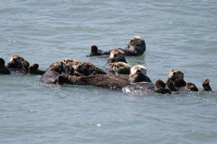 Alaska Sea Otters in Raft Cluster. Groups of Otters in Prince William Sound, Near Valdez, Alaska, feeding together stock photography