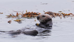 Sea otters stock video footage