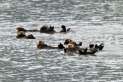 Sea otters. Sunbathing in valdez harbor Stock Photo