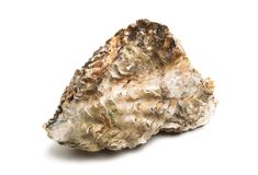 sea oyster stock photography