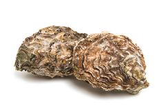 sea oyster royalty free stock photo
