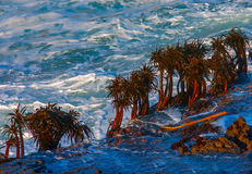 Sea palms on rocks in surf impact zone Royalty Free Stock Photos