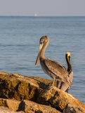 Sea Pelicans on Reef Stock Photos