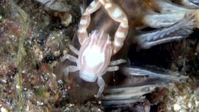 Sea pen crab on soft coral sea pen Indonesia stock video