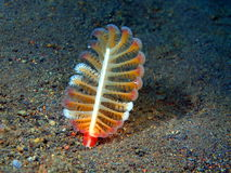Sea pen Royalty Free Stock Photography