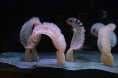 Sea pens. At Seattle aquarium stock photos