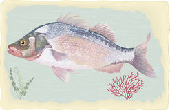 Sea bass. Sea perch on retro style background. Vector illustration. All objects are isolated Royalty Free Stock Images