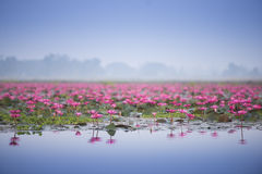 Sea of pink beautiful lotus Stock Images