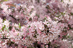 Sea of pink flowers Royalty Free Stock Photos