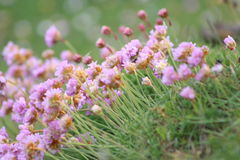 Sea pink flowers Royalty Free Stock Images