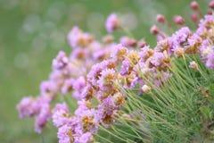 Sea pink flowers Stock Photos
