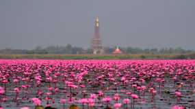 Sea of pink lotus,Nong Han, Udon Thani, Thailand (unseen in Thai Stock Photography