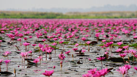 Sea of pink lotus,Nong Han, Udon Thani, Thailand (unseen in Thai Royalty Free Stock Photos