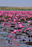 Sea of pink lotus,Nong Han, Udon Thani, Thailand (unseen in Thai. Land Royalty Free Stock Image