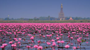 Sea of pink lotus,Nong Han, Udon Thani, Thailand (unseen in Thai. Land Royalty Free Stock Photo