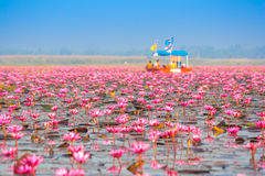 Sea of pink lotus, Nonghan, Thailand Royalty Free Stock Photos