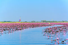 Sea of pink lotus in Udon Thani, Thailand. Curve way in Sea of pink lotus in Udon Thani, Thailand (unseen in Thailand royalty free stock photos