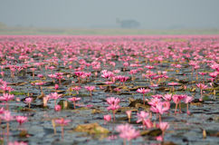 Sea of pink lotus Royalty Free Stock Images